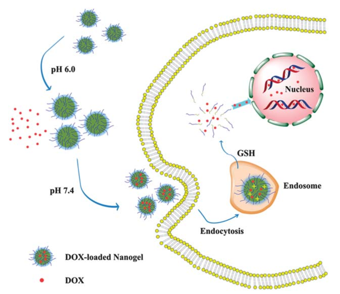 pH and reduction dual-responsive nanogel cross-linked by quaternization reaction for enhanced cellular internalization and intracellular drug delivery